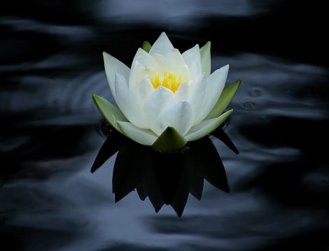 Gölgede Açan Nilüfer Çiçekleri