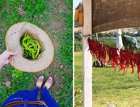 Çiftlikköy Organik Yaşam Köyü Sebze Toplama ve Kurutma