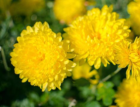Sonbaharda Yetiştirilebilecek Harika Bitki Türleri