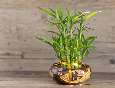 Evde Bambu Çiçeği Nasıl Yetiştirilir?